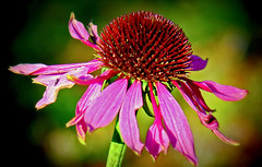 Withering but still beautiful! (Digisnapper) Tags: pink light flower green nature beautiful exotic tropical bloom withered withering
