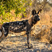 "Wild Dog in Okavango Delta, Botswana • <a style=""font-size:0.8em;"" href=""https://www.flickr.com/photos/21540187@N07/8293305215/"" target=""_blank"">View on Flickr</a>"