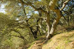 Otto at Pulgas Ridge  (19 Dec 12) (ejbSF) Tags: trees nature oak hiking places otto peninsula pulgasridge