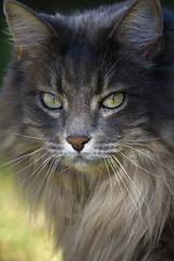 Marley In Vogue (joecrowaz) Tags: city arizona cats pets color nature phoenix animals canon raw manual 550d ef100400mmf4556lisusm t2i