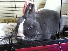 Maxin & Relaxin~ (sakura_chan15) Tags: rabbit bunny netherlanddwarfrabbit