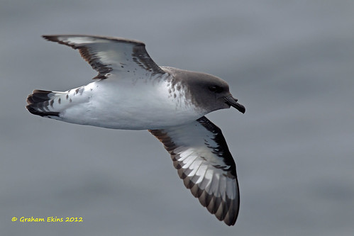 Cape Petrel,  Daption capense,