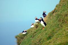 Selvaggio Colore (Wrinzo) Tags: sea scotland mare puffin atlanticocean shetland seabird seabirds scozia arctica fratercula pulcinelladimare shetlandislands oceanatlantico uccellimarini isoleshetland