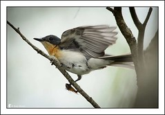 Fast Food! (Ross_M) Tags: birds australia brisbane queensland australianbirds passeriformes abr anstead moggill monarchidae myiagrarubecula leadenflycatcher