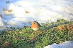Pettirosso / Erithacus rubecula / Redbreast (Giorgio Milani) Tags: snow bird birds erithacusrubecula uccelli neve uccello redbreast pettirosso
