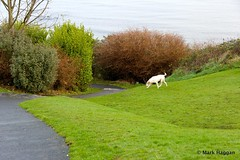 Berta explores Chaine Park (MarkHaggan) Tags: park uk sea dog pet hound berta northernireland chaine harrier ulster countyantrim antrim irishsea larne harrierhound chainepark