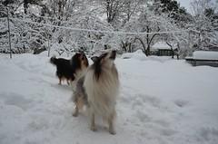 Lumine tervitus (anuwintschalek) Tags: schnee winter dog white snow garden collie tallinn estonia december hund lumi weiss garten zorro 2012 eesti aed estland talv koer kolli valge 18200vr pääsküla d7k jõmmu nikond7000
