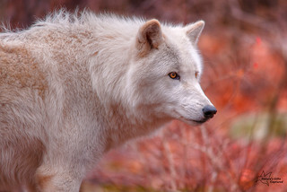 White Wolf Profile