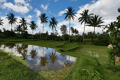 Bali Mirror (anelectricmonk) Tags: reflection tree green mirror rice palm tropical lush