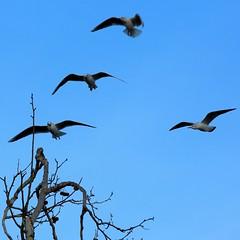 J77A1941 -- Four Black-headed Gulls aiming for the same tree top (Nils Axel Braathen) Tags: france nature birds wildlife gull fugler oiseaux blackheadedgull levsinet mouetterieuse hettemke vogeln chroicocephalusridibundus