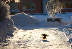 Blackbird landing (Ulf Bodin) Tags: winter snow cold vinter sweden uppsala sverige turdusmerula sn blackbird kallt koltrast uppsalaln canoneos5dmarkii salabacke salabackar canonef70200mmf28lisiiusm