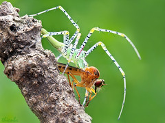 IMG_8837 (thienbs) Tags: macro insect spider thienbs