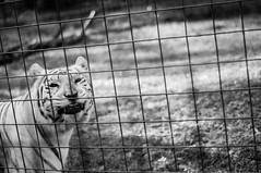White Tiger at Big Cat Rescue (E. Morrow) Tags: cats cat tampa florida tiger sanctuary bigcats whitetiger inbreeding bigcatrescue flickrbigcats