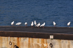 Seagulls on the pier (gabriele.tino) Tags: portrait stilllife nature animal fauna landscape photo flora nikon object creative gabrieletino