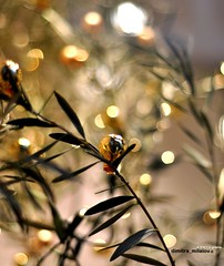 Olive tree, full of wishes! (dimitra_milaiou) Tags: world life christmas new xmas city winter light people tree green art window nature leaves shop ball greek happy photography 50mm gold golden design nikon europe bokeh earth d live centre year olive hellas athens greece planet create f18 90 daylights syntagma dimitra d90          milaiou