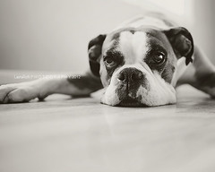 Buck...being his usual self. (Laura L. Ruth) Tags: blackandwhite dog pet cute funny boxer buck onthefloor mopey 35l allzenands