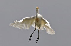Another Cattle Egret! (maureen_g) Tags: bird nature wildlife flight feathers australia nsw hunterregion hunterwetlands