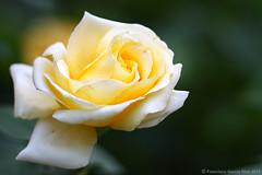 Una rosa amarilla. / A single Yellow Rose. (Recesvintus) Tags: espaa flower love primavera rose yellow spring spain europe bokeh amor flor rosa amarillo es 18 springtime albacete 8ii canon450d canonef50mm1 recesvintus villafabiana rememberthatmomentlevel4 rememberthatmomentlevel1 rememberthatmomentlevel2 rememberthatmomentlevel3 rememberthat