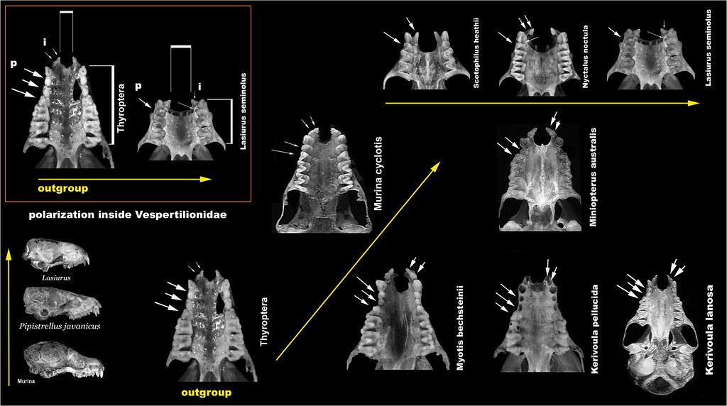 Xenarthra Phylogeny The World's Best Photo...