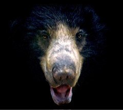 Sloth Bear PB (BeetleBrained) Tags: bear nature animal photoshop zoo nikon paint national sloth oil nikkor oilpaint slothbear cs5 pixelbender