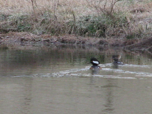 Mr. and Mrs. Hooded Merganser