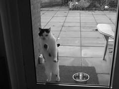 Ik wil naar binnen (remcovdk) Tags: white snow black cat kat sneeuw zwart wit poes nijkerk 2013 1112013 remcovdk