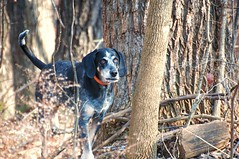 4/52 winter woods walker (huckleberryblue) Tags: trees winter dog gracie coonhound week4 bluetickcoonhound 52weeksfordogs