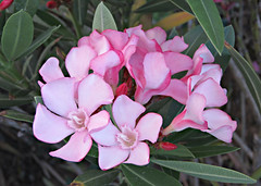 Pale Pink! ('cosmicgirl1960' NEW CANON CAMERA) Tags: travel pink flowers green nature gardens spain holidays parks espana costadelsol andalusia marbella yabbadabbadoo worldflowers