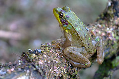 Grenouille (A Great Capture) Tags: aquatic anura parklands parkland park donvalley evergreenbrickworks brickworks evergreen nature branch stick pond frog agreatcapture agc wwwagreatcapturecom adjm toronto on ontario canada canadian photographer ash2276 ashleylduffus ald mobilejay jamesmitchell summer summertime 70 d eos canon 2016 swamp grenouille legs creature ig