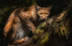 Unter Beobachtung (ellen-ow) Tags: baum bume katzenartige kleinkatzen luchs raubtiere sugetiere lynx tier raubkatze nikond4 ellenow