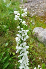 White Bog Orchid (Patricia Henschen) Tags: canada nationalpark banff alberta morainelake glacial lake reflections rockies northern rockymountains mountains whitebogorchid