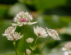 Mountain Sanicle (Mac ind g) Tags: garden inverewegardens summer greatmasterwort scotland mountainsanicle astrantia flower walking nts inverewe poolewe westerross holiday white astrantiamajor