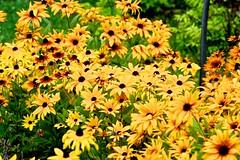Yellow Flowers (tez-guitar) Tags: summer flower yellow blossoms bloom pentax pentaxart tamron macro petal tohoku aomori