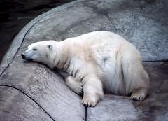 The Captive's Despair (David Badke) Tags: calgary alberta mammal bear zoo