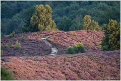 Posbank (HP015427) (Hetwie) Tags: planten posbank natuur heide nature zonsondergang pad zon sun sunset veluwe heather rheden gelderland nederland