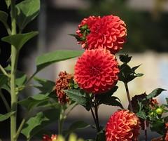 dahlias (germancute) Tags: nature outdoor wildflower flower blume park beet wiese garden garten