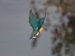Kingfisher flight #3 (Tony McLean) Tags: 2016tonymclean tophilllow eastyorkshire naturephotography wildlifephotography nikond4 nikon500f4gvr kingfisher eisvogel