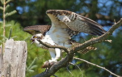 Osprey story 2:  OK, I'm dancing and singing!!! You just keep shooting!!!! Hurry up! (Mala Gosia) Tags: kajtek malagosia sep92016 eaglelake mikisewprovincialpark ontario canada outdoor canoneos6d landscape water lake trees osprey bird nest