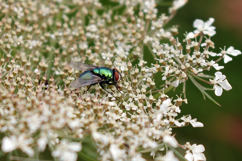 """Schmeißfliege (Calliphoridae) (03) • <a style=""""font-size:0.8em;"""" href=""""http://www.flickr.com/photos/69570948@N04/28940056146/"""" target=""""_blank"""">View on Flickr</a>"""