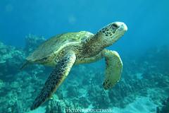 IMG_0070 (Aaron Lynton) Tags: lyntonproductions tako honu turtle hawaii maui underwater canon g1x spotted eagle ray octopus sea star