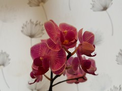Orchids (tomylees) Tags: worldphotoday pink orchid august 2016 19th friday