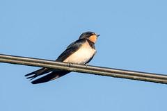 Barn Swallow     Rauchschwalbe (abritinquint Natural Photography) Tags: bird vogel natural wildlife nature wild nikon d750 telephoto 300mm pf f4 300mmf4 300f4 nikkor teleconverter tc17eii pfedvr somerset uk gb greatbritain barnswallow swallow