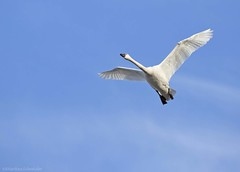 Tundra Swan AAF (martinaschneider) Tags: swan tundraswan spring aylmer bird ontario flight flying birds bluesky