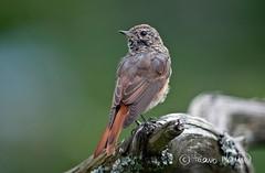 Leppälintu,Phoenicurus phoenicurus, Common Redstart (Paavo Laine) Tags: leppälintu phoenicurusphoenicurus pikkulintu kesä