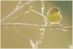 bird breath (Christian Hunold) Tags: commonyellowthroat woodwarbler warbler songbird bird weidengelbkehlchen bokeh birdbreath backlighting johnheinznwr philadelphia christianhunold