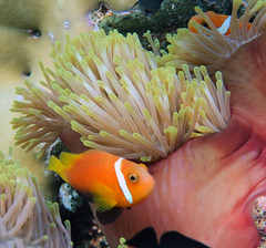 """Finally a couple of shots that clearly show the black """"feet"""" of the Blackfoot Anemonefish (dfinney23) Tags: dfinney23 2016 maldives snorkeling underwater fish anemonefish anemone sea"""
