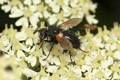 Tachinidae sp. (Fly) - Guernsey (Nick Dean1) Tags: tachinidae diptera animalia arthropoda arthropod hexapoda hexapod insect insecta channelislands guernsey lihou canon7d canon macro