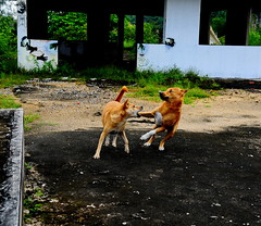 ,, Playing ,, (Jon in Thailand) Tags: rocky mama roof playing mom son jungle jumping eyes expression hands aliens k9 k9s dogs hooligans thedogpalace trees tail ears fangs nikon nikkor d300 175528 dog littledoglaughedstories