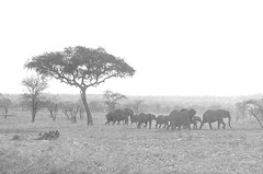 serengeti (sixthofdecember) Tags: travel africa eastafrica tanzania serengeti serengetinationalpark nationalpark nature animal animals outside outdoors wildlife grass grassland dry dryseason bw blackandwhite tree trees acacia acacias elephant elephants herd nikon nikond5100 tamron tamron18270