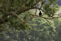 From the tangles of my tree I watch you go about your day (Anxious Silence) Tags: hedsor bourneend outdoor tree branches birds corvid crow wildlife summer